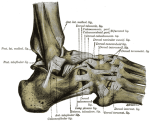 Ankle Human Body